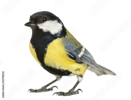 Poster Vogel Male great tit, Parus major, isolated on white