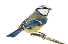 Blue Tit Perched On A Branch, Cyanistes Caeruleus, Isolated