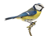 Side View Of A Blue Tit Perching On A Branch Cyanistes Caeruleus