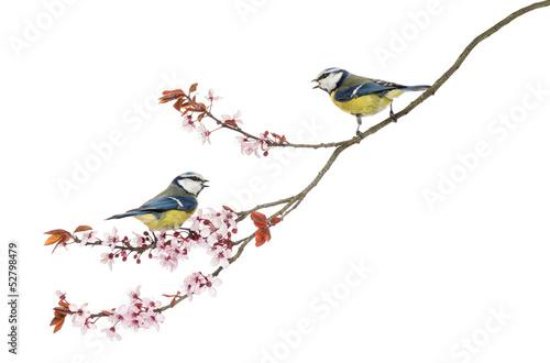 Keuken foto achterwand Kersenbloesem Two Blue Tits whistling on flowering branch, Cyanistes caeruleus