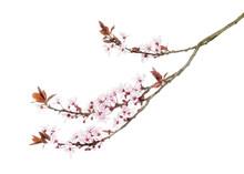 Japanese Cherry Branch, Isolat...