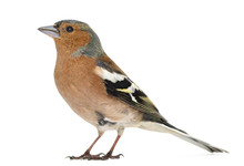 Common Chaffinch, Isolated On ...