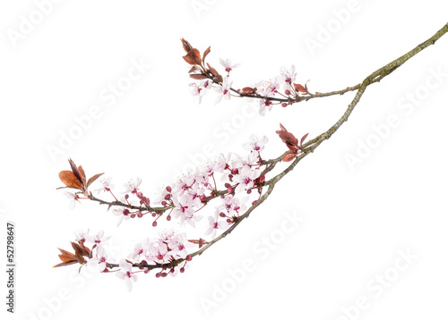 Foto op Canvas Kersenbloesem Japanese Cherry branch, isolated on white