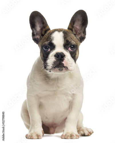 La pose en embrasure Bouledogue français French Bulldog puppy, sitting, looking at the camera, 4 months