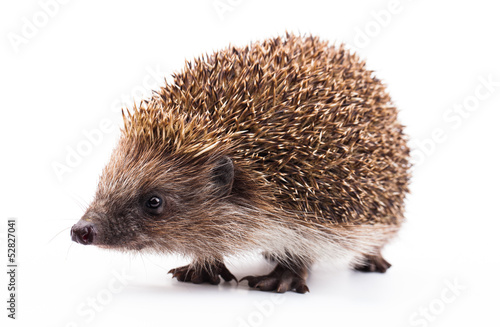 Fotomural wild hedgehog isolated on white