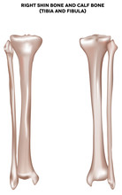 Shin Bone And Calf Bone (tibia And Fibula)