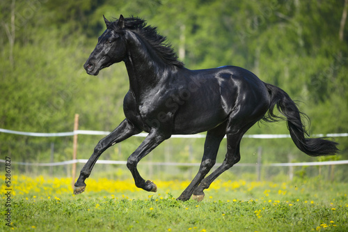 Fototapeta Black horse runs gallop in summer