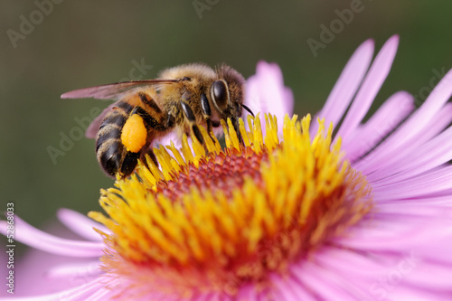 Spoed Foto op Canvas Bee Bee on the flower.