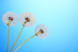 Dandelions on blue background