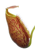 Isolated Pitcher Plant (nepenthes)