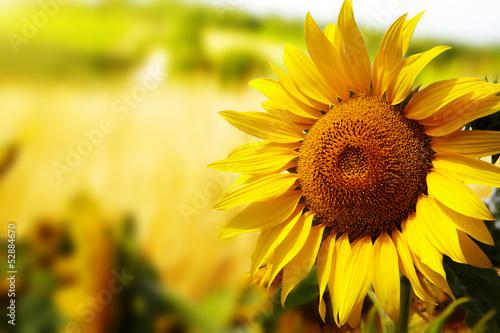 Deurstickers Oranje eclat Tuscany sunflowers