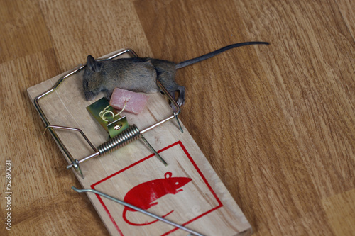 Dead field mouse in a mousetrap плакат
