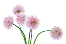 Chives With Flowers Isolated