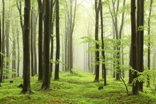 Spring Beech Forest In Rainy, ...