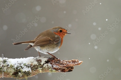 Tablou Canvas Robin in Falling Snow