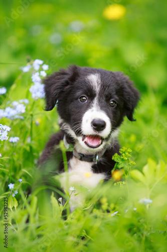 Canvas Border Collies black puppy