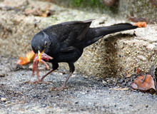 Black Blackbird Hunting With A Worm In The Yellow Beak
