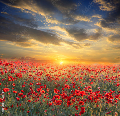 Fototapety, obrazy: sunset over poppy field