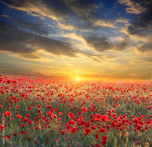 Fototapeta sunset over poppy field obraz na płótnie