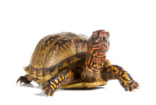 Three-toed Box Turtle (terrape...