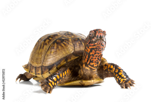Tuinposter Schildpad Three-toed Box Turtle (terrapene carolina triunguis) looks ahead