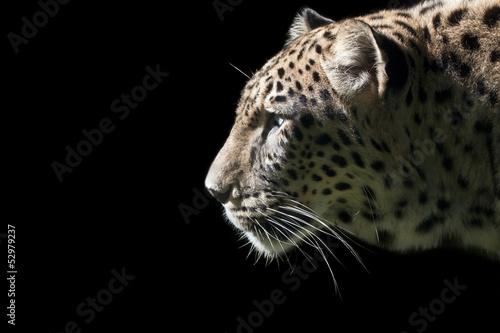 Beautiful Leopard portrait on black background
