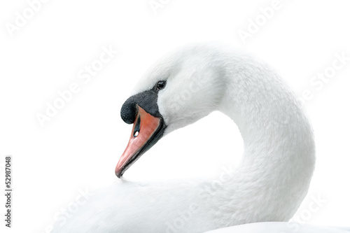 portrait of white swan