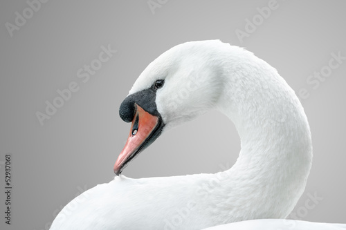 Deurstickers Zwaan portrait of white swan