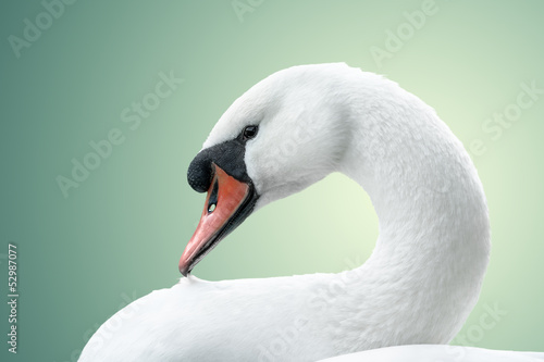 Poster Cygne portrait of white swan