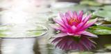 Fototapeta Flowers - Pink lotus