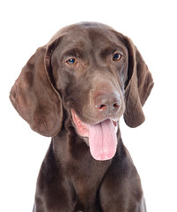 FototapetaGerman Shorthaired Pointer in front. isolated