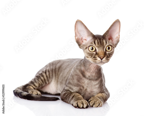 Photo  lying devon rex cat. looking away. isolated on white background