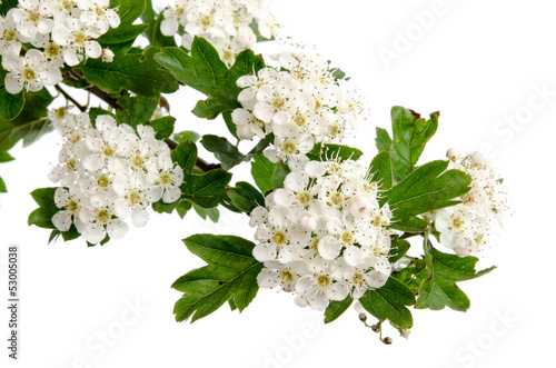 Fotografia  Weißdornblüten