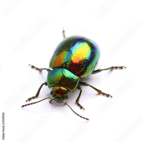Mint Leaf Beetle (Chrysolina herbacea) isolated on white Poster