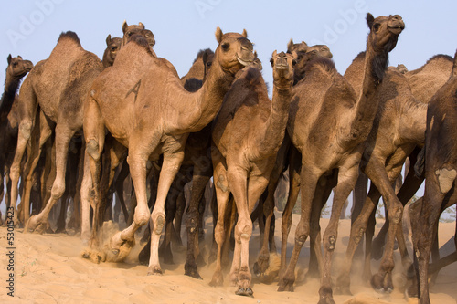 Deurstickers Kameel Camel at the Pushkar Fair in Rajasthan, India