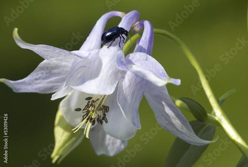 Fotografie, Obraz Flower  Aquilegia.