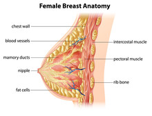Female Breast Anatomy