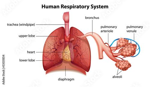 Vászonkép Human respiratory system