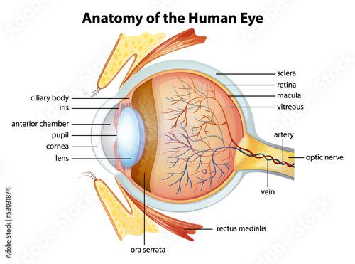 Fényképezés  Human eye anatomy