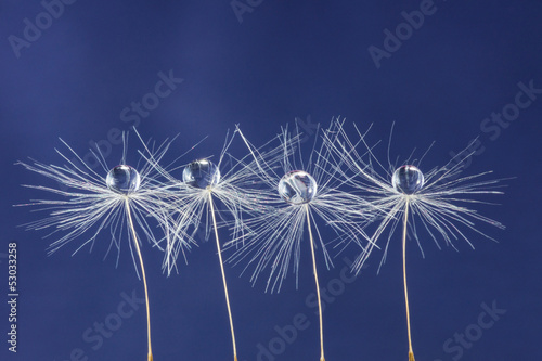 three dandelion seed with drops
