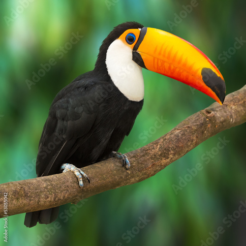 Photo sur Toile Toucan Toucan
