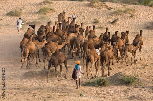 Poster de jardin Vache Pushkar Fair ( Pushkar Camel Mela ) Rajasthan, India
