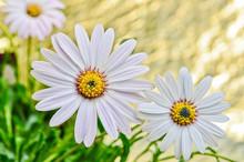 Osteospermum Daisy Flowers In The Garden