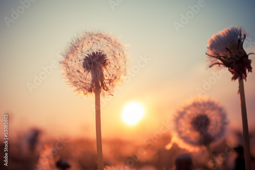 Tuinposter Paardebloem Real field and dandelion at sunset
