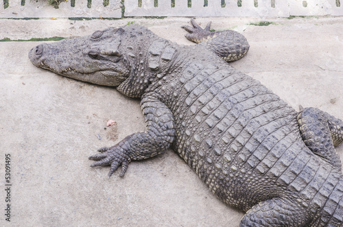 Deurstickers Krokodil Crocodile on a farm, Thailand