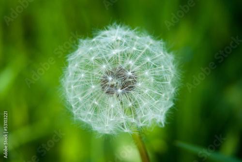Dandelion in green field