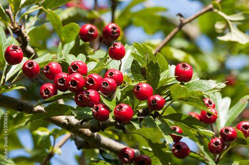 Hawthorn berries Fototapeta