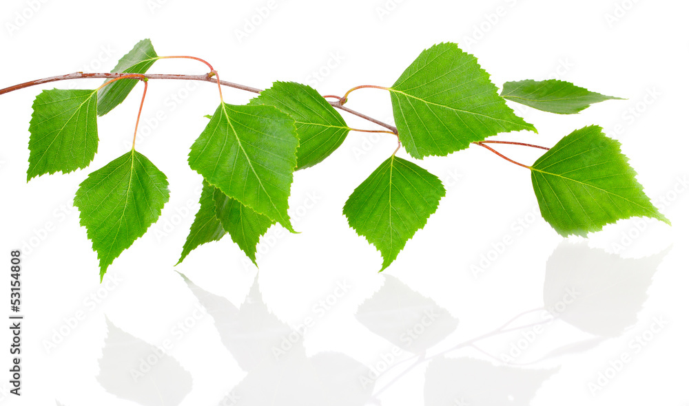 Birch leaves isolated on white background.