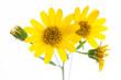 canvas print picture - Arnika (Arnica montana) Blüten im Detail