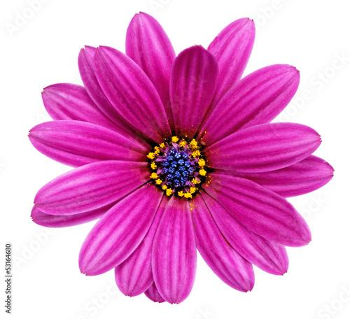 Single flower of Gazania. (Splendens genus asteraceae).Isolated - 53164680